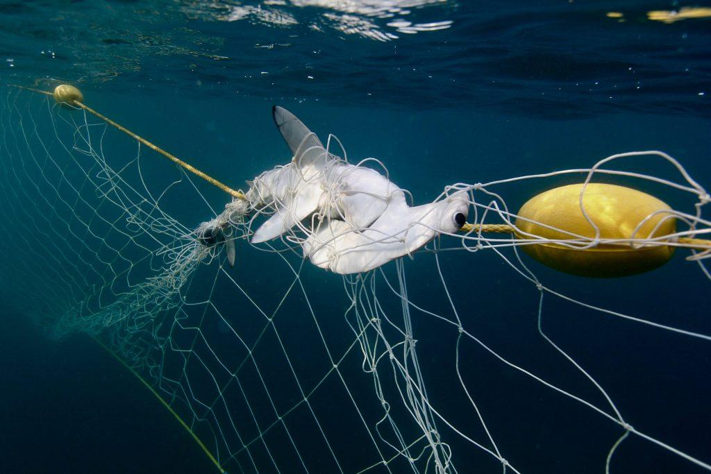 Hammerhead shark in net in NSW