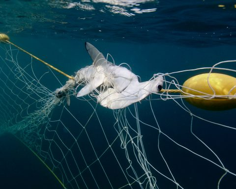 Hammerhead shark in net in NSW