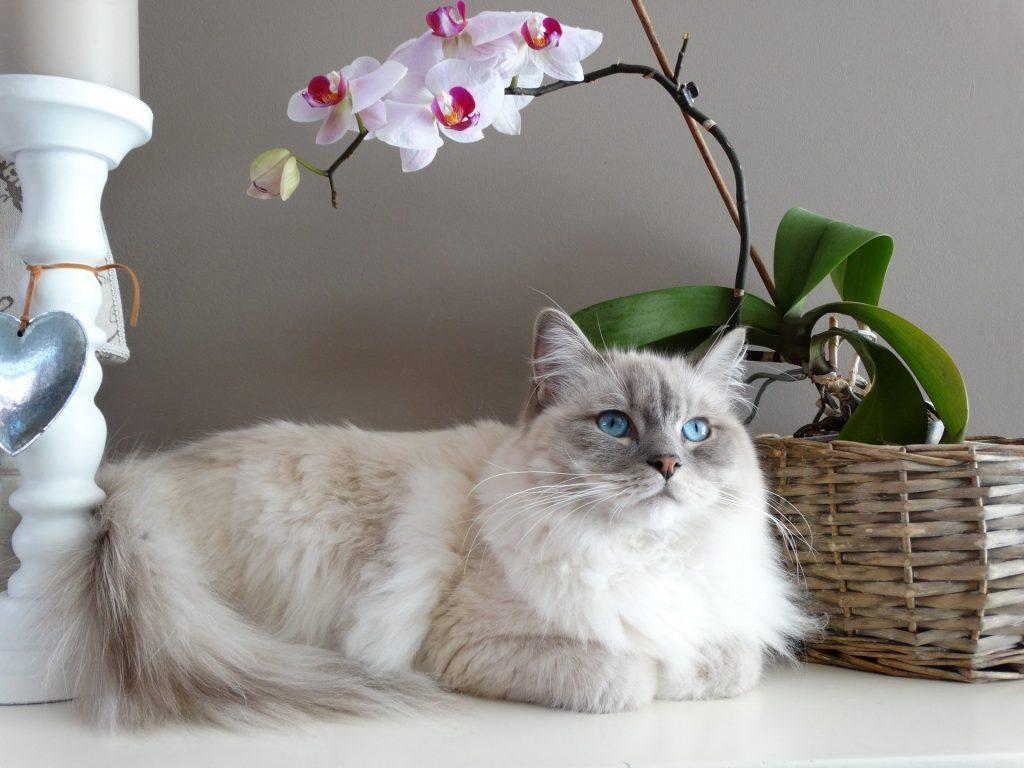White/grey domestic long hair cat